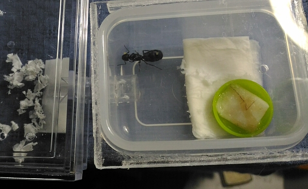 卵を守るムネアカオオアリ女王