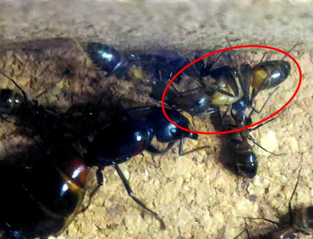 大きな幼虫が働き蟻になりました(2017/09/07)