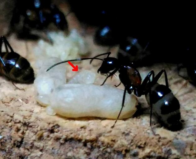 中途半端なサイズの幼虫
