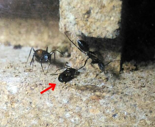 働き蟻が死んでいた