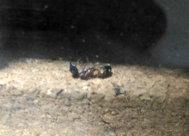 働き蟻2匹目の遺体