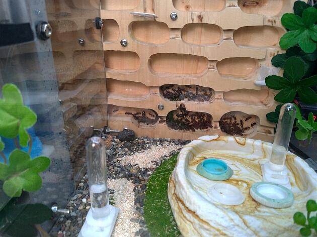 新型飼育巣へ引っ越した蟻たちの様子