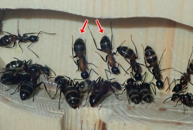 新しく誕生した働き蟻
